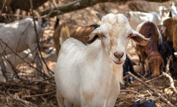 """Le directeur des services vétérinaires (DSV) au ministère de l'Agriculture, du développement rural et de la pêche, El Hachemi Karim Kaddour a fait état, dimanche, de la """"perte de 1000 à 1200 têtes de bétail en raison de la peste des petits ruminants à travers 12 wilayas"""" rapporte l'agence officielle APS.."""