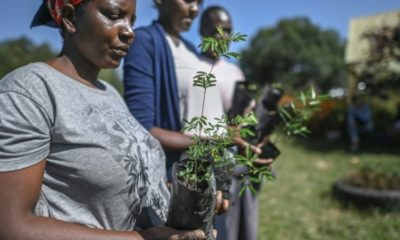 Des jardiniers s'apprêtent à transplanter de petits arbres dans le comté de Nanok, le 4 février 2021